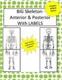 Oversized Skeleton Diagram W/LABELS-8.5 in x 22in (Ant & P