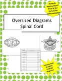 Oversized Spinal Cord Diagram- Incl Notes & Bonus Review Chart!