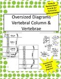 Oversized Vertebral Column & Vertebrae Diagram- Incl Notes