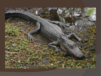 Oviparous Animals PPT