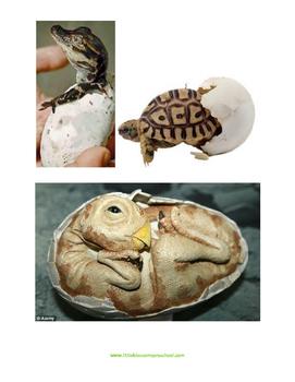 Oviparous - Egg Unit