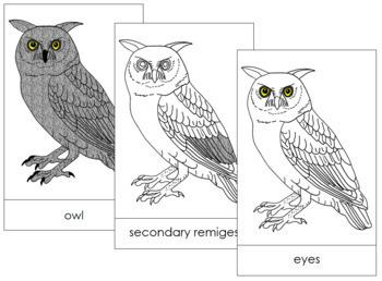 Owl Nomenclature Cards