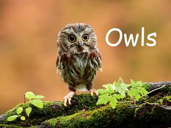"""Owls Nonfiction PowerPoint """"Book"""" for First or Second Grade"""