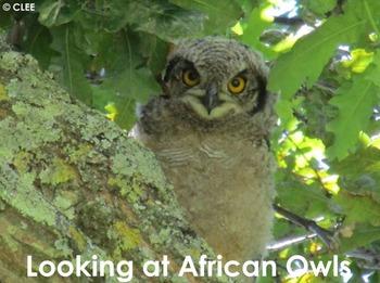 African Birds: Owls - PDF Presentation