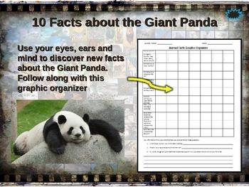 PANDA BEAR: 10 facts, engaging PPT, links, free graphic organizer)