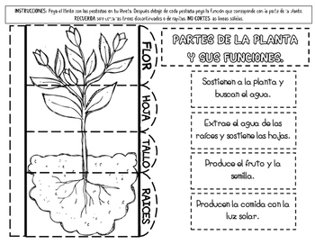 PARTS OF THE PLANT (SPANISH AND ENGLISH)
