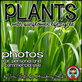 Photos Photographs PLANTS for Personal and Commercial Use Sunflower Life Cycle