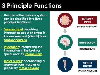 PPT - Nervous System (ADVANCED) - Neurons, CNS/PNS, Action Potential, Disorders