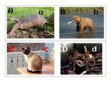 PREK animal alphabet real pictures ESL matching initials b