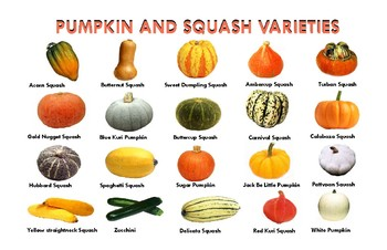 """PUMPKIN AND SQUASH VARIETIES POSTER:  """"Ledger/Tabloid"""" (11 x 17 inches)"""