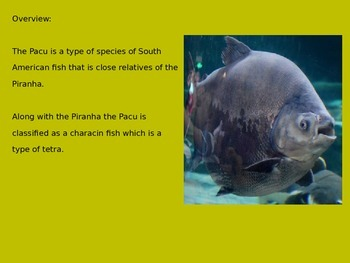 Pacu - Power Point Information Facts Pictures - Fish like a Piranha