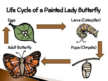Painted Lady Butterflies ~ An Interactive... by Smart ...