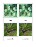 Painted Lady Butterfly Life Cycle Three Part Cards