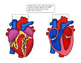 Paper Models Internal External Anatomy of the Heart Booklet Foldable