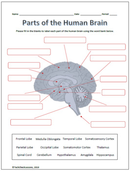 Parts and Functions of the Brain Labeling Worksheet ...