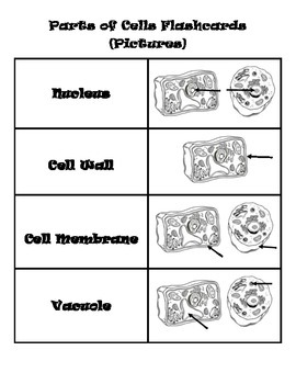 Parts of The Cell Flashcards (Pictures and Function)
