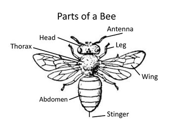 Parts of a Bee