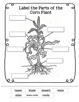 parts of a corn plant worksheet by little learning lane tpt. Black Bedroom Furniture Sets. Home Design Ideas