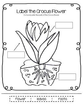 Parts of a Crocus Flower Worksheet