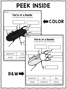 Vocabulary Activity - Parts of a Mealworm Beetle