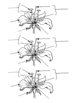 Parts of a Flower reproducible diagram