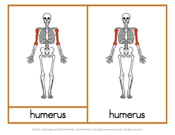 Parts of a (Human) Skeleton - Montessori 3 part cards