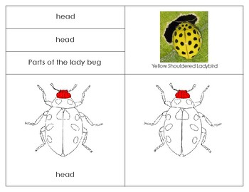 Parts of a Ladybug- Montessori  Lesson