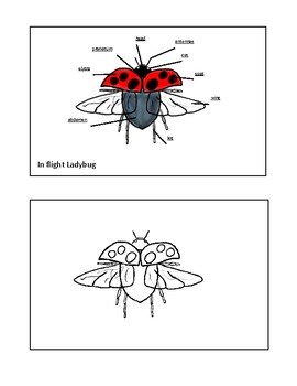 Parts of a Ladybug in Flight
