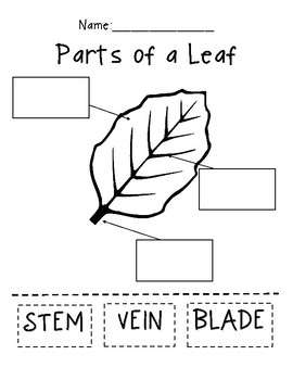 Parts Of A Leaf Worksheet | Teachers Pay Teachers