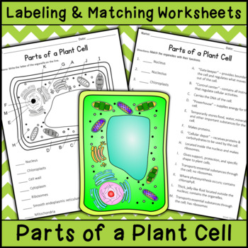 Parts of a Plant Cell - Labeling & Matching by Katie ...
