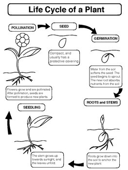 Plant Unit Graphic Organizers