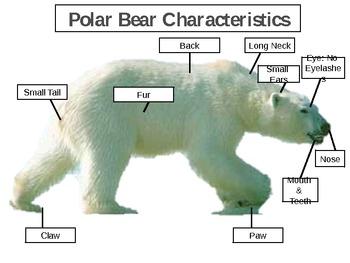 Parts of a Polar Bear