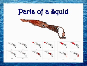 Parts of a Squid