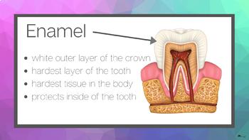 Parts of a Tooth Digital Slideshow for Google Slides™