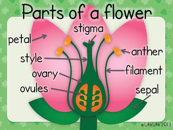 Parts of a flower fold & learn