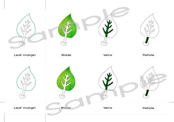 Parts of a leaf | 3 part Montessori cards