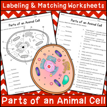 Parts of an Animal Cell - Labeling & Matching | Distance ...