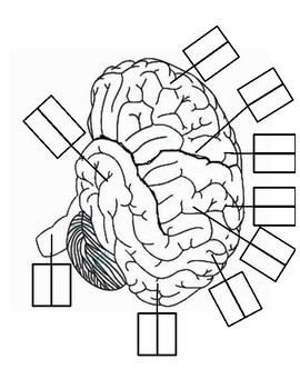 Parts of the Brain Labeling Worksheet