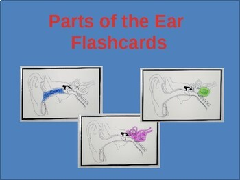 Parts of the Ear Flashcards