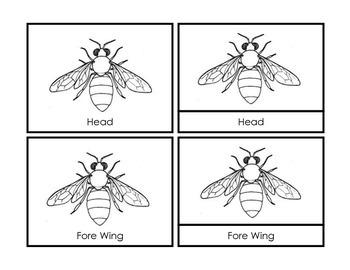 Montessori Parts of the Honey Bee