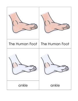 Parts of the Human Foot Nomenclature Cards