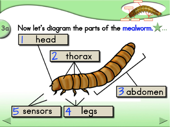 Parts of the Mealworm - Animated Step-by-Step Science Project