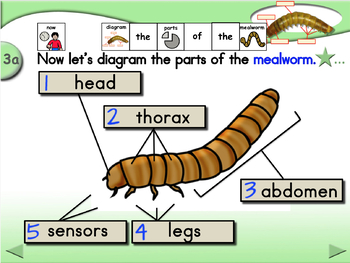 Parts of the Mealworm - Animated Step-by-Step Science Project - PCS