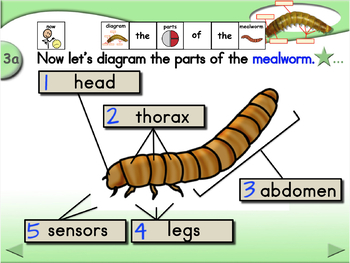 Parts of the Mealworm - Animated Step-by-Step Science Project - SymbolStix