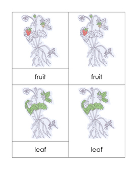 Parts of the Strawberry Plant Nomenclature Cards
