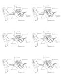 Parts of the ear reproducible diagram