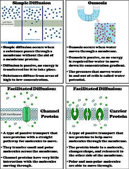 Passive and Active Cell Transport Foldable: Diffusion, Osmosis, Endo/ Exocytosis