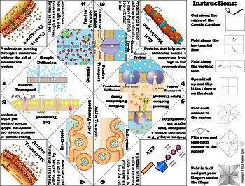 Passive and Active Cell Transport Foldable/ Activity