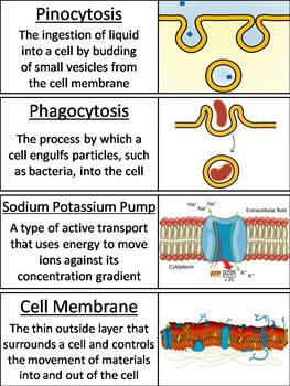 Passive and Active Cell Transport Word Wall Cards