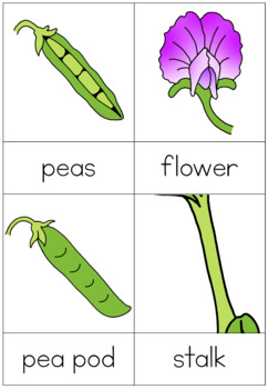 Pea life cycle nomenclature cards